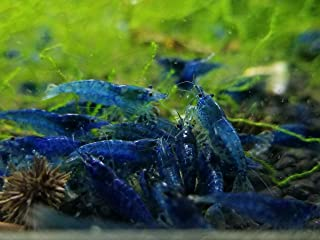 caridina shrimp