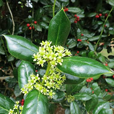 Perfect Plants Dwarf Burford Holly Live Plant, 1 Gallon, Includes Care Guide