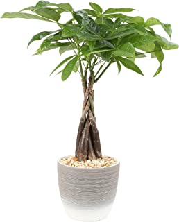Costa Farms Money Tree, Pachira, Medium, Ships in Premium Ceramic Planter, 16-Inches Tall