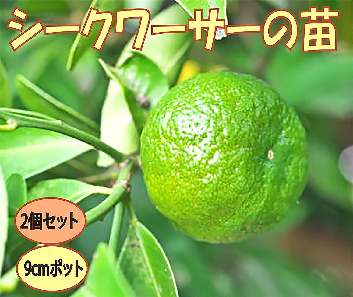 ペネロペセッティング告白「シークワーサー」【果樹挿し木苗9cmポット/2個セット】【ポット苗なので年中植付け可能!!即出荷!!プライム送料込み価格!】シークワーサーは、沖縄の方言で『お酢(酸)を食わせる(加える)』という意味です。まだ青い酸味の強いシークワーサーは、様々な料理に調味料として使うことができます。焼魚や唐揚げにかけたり、醤油と合わせてオリジナルぽん酢を作ったり、酢の物に使ったり。レモンよりもフルーティーでスダチよりも癖がない味です。寒さには強くないので温暖地以外では冬は鉢植えにして室内窓辺で管理してください。自社農場から新鮮出荷!!【挿し木苗ですので、出荷タイミングによりかなり小さな苗になります。苗が小さくても十分栽培可能です。弊社出荷基準により出荷しています。ご了承ください】