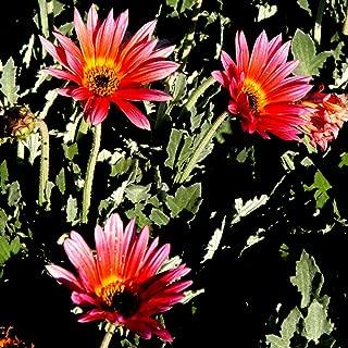 CROSO Germination Seeds ONLY NOT Plants: 30 Seeds Arctotis Grande Harlequin Flower Mix