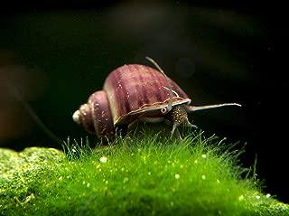 Aquatic Arts 3 Live Purple Mystery Snails Freshwater Aquarium Algae Scraper/Nano Fish Tank Filter/Glass Cleaning Snail | Natural Decor