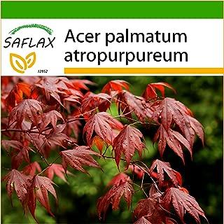 SAFLAX - Arce japonés - 20 semillas - Con sustrato - Acer palmatum atropurpureum