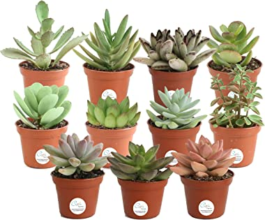 Costa Farms Succulents Fully Rooted Live Indoor Plant, 2-Inch Grower's Choice, 11-Pack