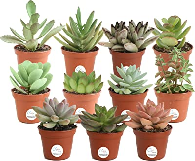 Costa Farms Mini Succulents Fully Rooted Live Indoor Plant, 2-Inch Grower's Choice, Multicolor