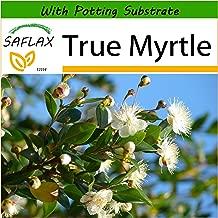 SAFLAX - True Myrtle - 30 Seeds - with Soil - Myrtus communis