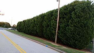 50 Plants of Thuja Green Giant, Nature's Privacy Fence, Green, Tall and Beautiful Hedge