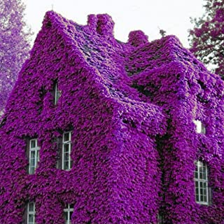 Cicitar Garden - 100pcs Rare Purple Ivy Creepers Vines Fast Growing, Evergreen Climbers Plants, Exotic Hardy Perennial Flower Seeds for Walls, Fences, trellises and pergolas
