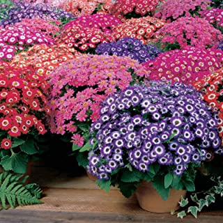100 Seeds Jester Flower Garden Blooms Mix Ceneraria #TRM