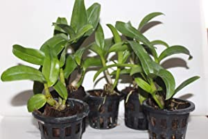 Living Colours Firm Pot With Dendrobium Live Orchid Plant, Assorted Subject To Availability, 5 Pieces