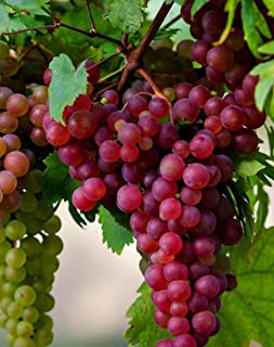 Somerset Grape Seeds UPC 600188197709 + 1 Free Plant Markers (25)