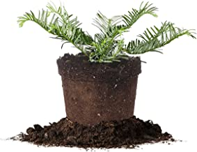 Perfect Plants Cephalotaxus Spreading Yew Live Plant, 1 Gallon, Includes Care Guide