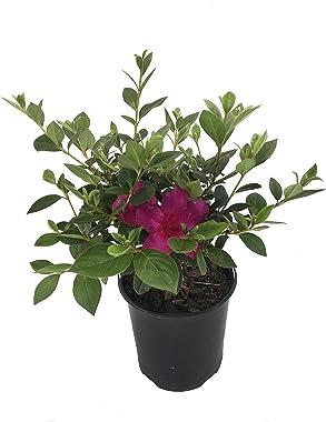 Purple Formosa Azalea - Live Plant in a 6 Inch Pot - Azalea Indica Formosa - Hardy Flowering Evergreen Shrub