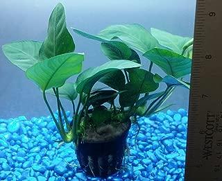 Buy2get1free,same plant Anubias Barteri Var. Nana Ps233 Live Aquarium Plant