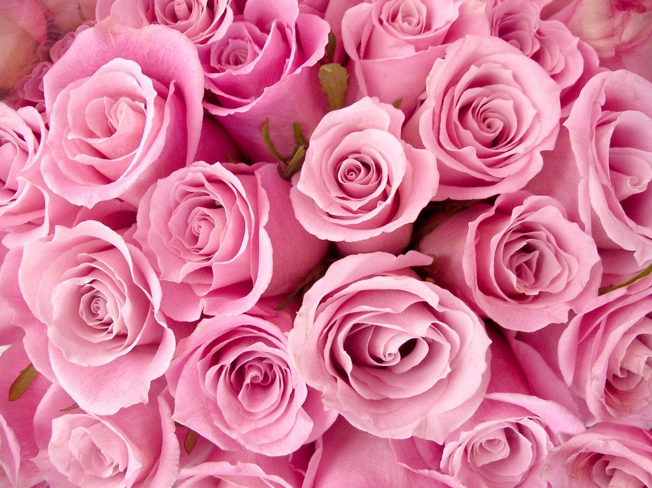 Gsquare Wallpaper Rose Flower Hd Wallpaper Pink 60x48 Inches Amazon In