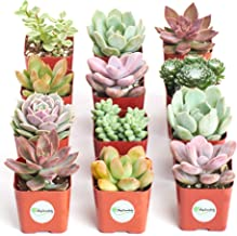 Shop Succulents   Premium Pastel Collection of Live Succulent Plants, Hand Selected Variety Pack of Mini Succulents   Collection of 12