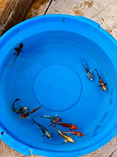 10 Assorted 5-7 inch Imported Japanese Live Koi Fish