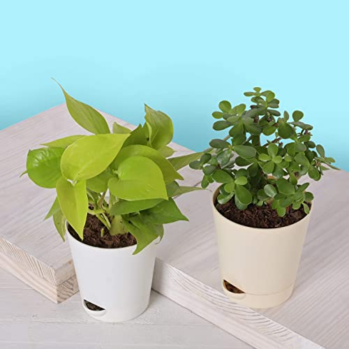 Ugaoo Good Luck Indoor Plants For Home With Pot - Jade Plant & Money Plant Golden