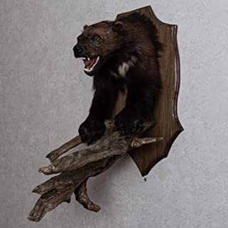 Wolverine Taxidermy Head Shoulder Mount - Mounted, Stuffed Animals for Sale - Real, Decor, Wall Mount, Cape - ST5072
