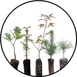Best black pine plant Reviews