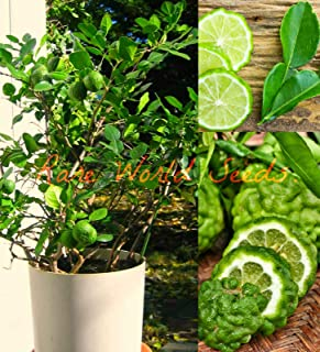 Bush Type Kaffir Lime Tree Indoor Outdoor Grows to 2-4' in Pot! Citrus Seeds