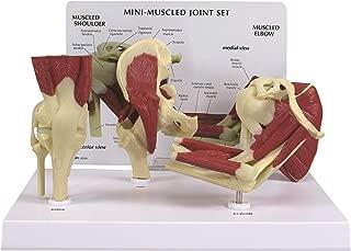 Human Mini-Muscled Joint Anatomical Model Set #1900