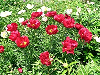 Flower Seeds Garden Peony Paeonia Lactiflora Red Pink White Mix Chinese Peony 5 Seeds MG002