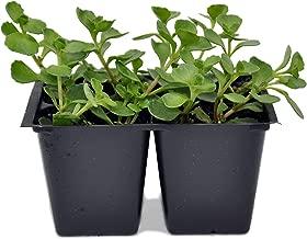Sedum spurium John Creech, Ground Cover, Pack of 4 Plants