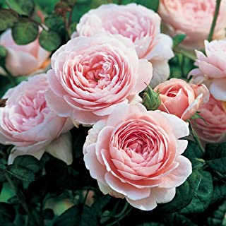100 Pcs Climbing Colorful Rose Flowers Seeds For Garden Home Balcony Fences Yard Decoration Flowers Plants (Rosa Queen of Sweden Seeds)