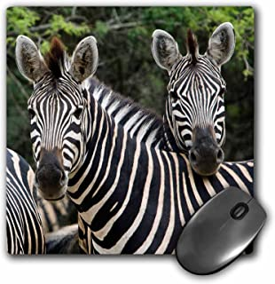 "3dRose Three Burchells Zebra in The Timbavati, Limpopo, South Africa. Mouse Pad, 8"" x 8"" (mp_205665_1)"