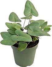 Best heart leaf fern Reviews