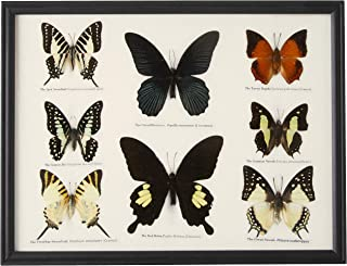 GABUR Set Real 8 Mix Butterflies Collection Gifts Taxidermy Display in Frame, 12.8 x 9.85 x 0.78 Inches, Black