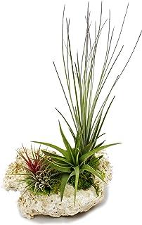 Plantas Tillandsia en piedra Zanzíbar, tama&
