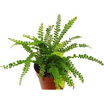 Amazon Com Lemon Button Fern Live Plant Free Care Guide 4