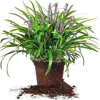 Perfect Plants Royal Purple Liriope Live Plant, 1 Gallon, Includes Care Guide