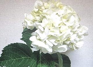 【生花】切花 アジサイ 色 本数 セレクト 母の日 プロポーズ 結婚お祝い 退院お祝い 開院お祝いなど ギフト(ホワイト)