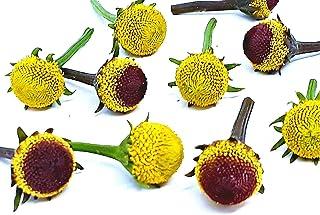 "Acmella oleracea (spilanthes): Szechuan Flowers : 80 Fresh""Edible"" Flowers. 40 Lemon Drop & 40 peek-a-Boo."