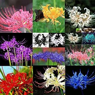 lamta1k 5 Unids Bulbos Lycoris Radiata Spider Lily Bulbo Calidad de semilla y Altas tasas de Supervivencia Home Garden Flor Calidad de semilla y Altas tasas de Supervivencia Decoraci¨®n