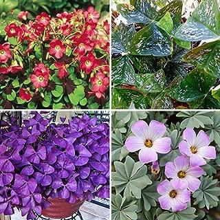 Nianyan- Shamrock Oxalis Triangularis Bulbs Easy to Plant Leaf Flower Seeds (mixed colorful 100 Oxalis seeds)