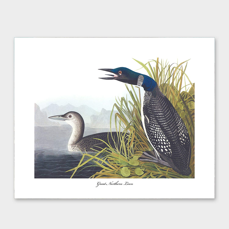 Great Northern Loon Print Audubon Bird Art Wall Ranking TOP7 Credence Coastal Lake Hou