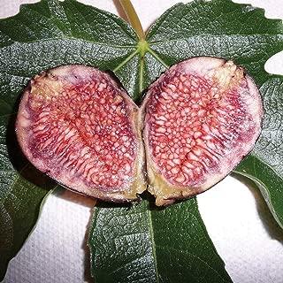 Burpee Violette de Bordeux' Fig Fruit, 1 Plant