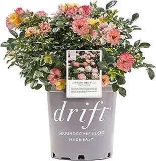 Star Roses Peach Drift Groundcover Rose - Rose Drift Peach - 19cm