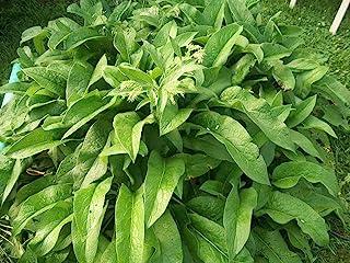 1 DOZEN (12) ORGANIC RUSSIAN COMFREY fresh root cuttings for your biomass crop