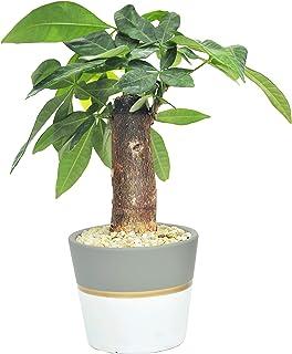 Costa Farms Money Tree Mini Pachira Ships in Ceramic Planter, 10-Inches, Gift or Home Décor