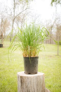 Two #1 Gallon Potted Karl Foerster Feather Reed Grass (Calamagrostis x acutiflora 'Karl Foerster') Plant