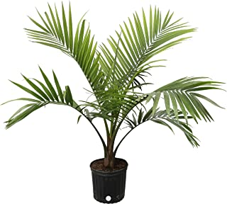 Costa Farms Majesty Palm Tree, Live Indoor Plant, 3 to 4-Feet Tall, Ships in Grow Pot, Fresh From Our Farm, Excellent Gift