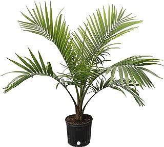 pygmy palm indoors