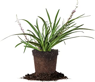 Variegated LIRIOPE - Size: 1 Quart, Live Plant, Includes Special Blend Fertilizer & Planting Guide