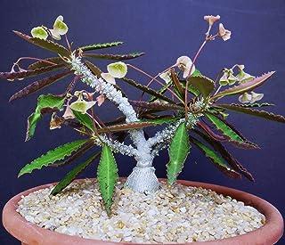 Rạre Euphorbia Suzannae - Marnierae Exotic Madagascar Bónsai Caudex SéẹD 5 SéẹDs Seeds_Easy_Grow