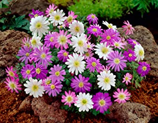 ANVIN Seeds Package: Anemone Blanda Mix Seed Corms